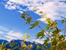 Ahornholzbaum an einem sonnigen Tag auf den Bergen Stockfotografie