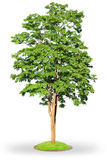 Ahornholzbaum getrennt auf Weiß Lizenzfreie Stockbilder