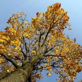 Ahornholzbaum im Fall Stockbilder