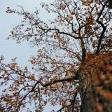 Ahornholzbaum im Fall und im blauen Himmel Stockfoto