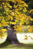 Ahornholzbaum im Herbst stockbild