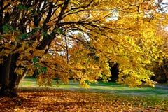 Ahornholzbaum im Herbst Goldener Herbstlaub Stockfoto
