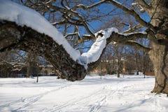 Ahornholzbaum im Winter Stockbilder