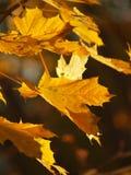 Ahornholzbaumblätter Stockfoto