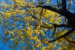 Ahornholzbaumoberseite mit gelben Blättern Stockfotografie