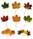 Ahornholzblätter Stockfoto