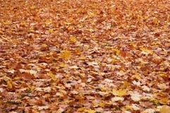 Ahornholzblätter Stockfotografie