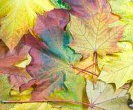 Ahornholzblätter Stockbild