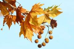 Ahornholzblätter und Eicheln Stockbild