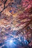 Ahornkorridor oder Ahorn tennel Stockfotografie