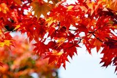 Ahornniederlassungsbaum auf klarem Hintergrund des blauen Himmels in der Herbstsaison, Sonnenlicht im Fall, Japan Lizenzfreie Stockfotos