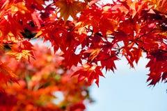 Ahornniederlassungsbaum auf klarem Hintergrund des blauen Himmels in der Herbstsaison, Sonnenlicht im Fall, Japan Lizenzfreies Stockbild