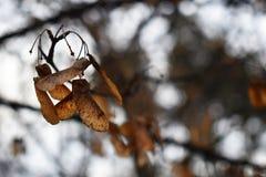 Ahornsamen auf Niederlassung mit Himmel und Baum in der Weichzeichnung im Hintergrund lizenzfreies stockbild