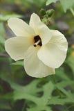 Aibika blomma Arkivbild