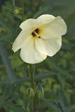 Aibika blomma Fotografering för Bildbyråer