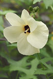 Aibika kwiat Fotografia Stock