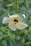 Aibika kwiat Obrazy Royalty Free