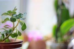 Aichrizon - όμορφες εγχώριες εγκαταστάσεις σε ένα δοχείο λουλουδιών Στοκ φωτογραφίες με δικαίωμα ελεύθερης χρήσης