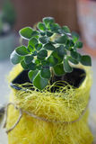 Aichryson succulent plant in a yellow pot - home plant. Royalty Free Stock Photography