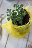 Aichryson succulent plant in a yellow pot - home plant. Stock Photos