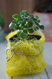 Aichryson succulent plant in a yellow pot - home plant. Stock Photography