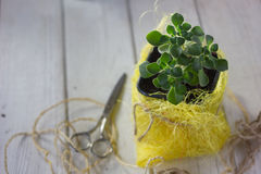 Aichryson succulent plant in a yellow pot - home plant. Stock Photo