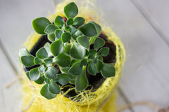 Aichryson succulent plant in a yellow pot - home plant. Royalty Free Stock Photos