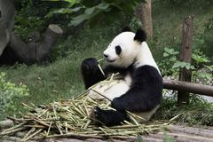 Lazy panda Stock Photography