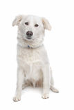 Aidi or atlas mountain dog Royalty Free Stock Photo