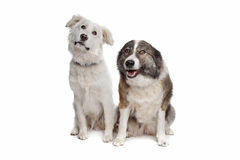 Aidi or atlas mountain dog Royalty Free Stock Image