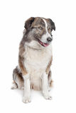 Aidi or atlas mountain dog Stock Image