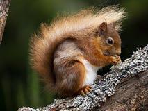Aigas-Eichhörnchen stockfoto