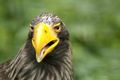 Aigle Photo libre de droits