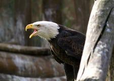 Aigle Photo stock
