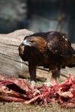 Aigle Photographie stock libre de droits