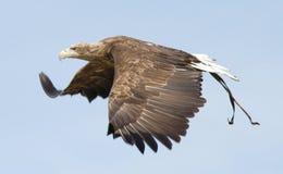 Aigle Photos libres de droits