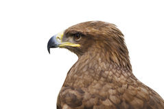 Aigle Photo stock