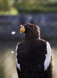 Aigle américain photo stock