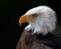 Aigle américain Photos stock
