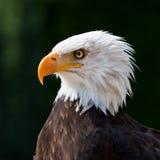 Aigle américain Image libre de droits