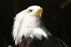 Aigle américain de liberté Images libres de droits