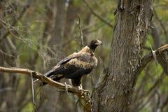 Aigle australien Photos libres de droits