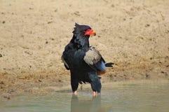 Aigle, Bateleur - position du courageux Photo libre de droits