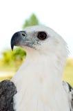 Aigle blanc Photographie stock libre de droits