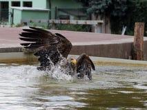 aigle Blanc-coupé la queue dans l'eau Photographie stock