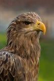 aigle Blanc-suivi Photos libres de droits