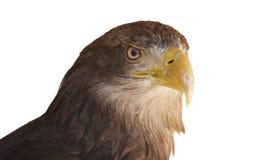 aigle Blanc-suivi Image libre de droits