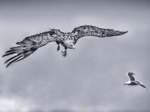 aigle Blanc-suivi photo libre de droits