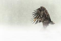Aigle Blanc-suivi par femelle dans la chute de neige importante Photo stock