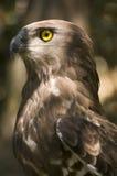 Aigle botté avec la pointe du pied par circuit (gallicus de circaetus) Photographie stock libre de droits